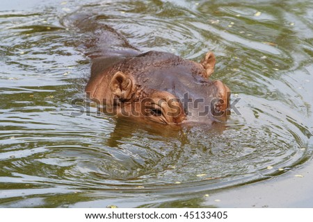 Image of a hippopotamus is in pool showing its eyes.