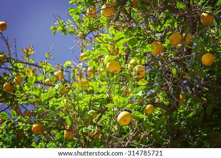 Image of a lemon tree with plenty of ripe fruit.  - stock photo