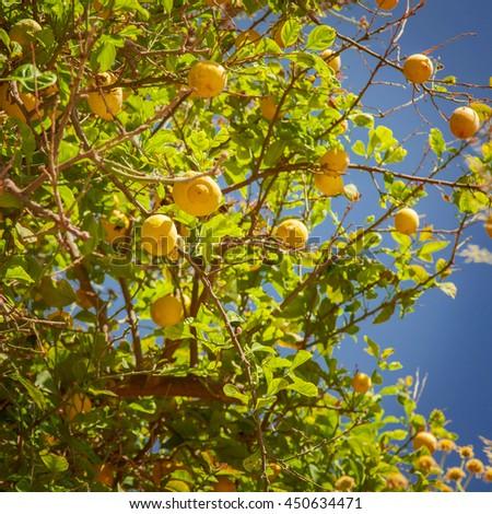 Image of a lemon tree with ripe fruit.  - stock photo