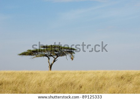 Image of a lonely acacia tree in Serengeti - stock photo
