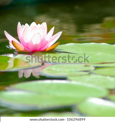 image of a lotus flower on the water - stock photo