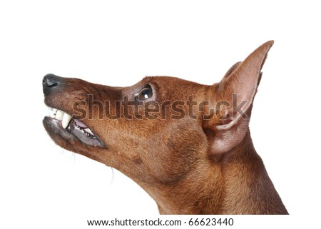image of a Miniature Pinscher. Isolated on white background - stock photo