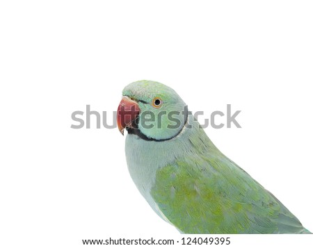 Image of a parrot isolated on white - stock photo