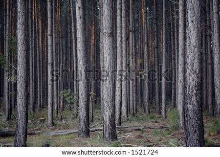 Image of a pine forest just before sunset - stock photo