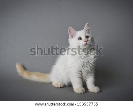 Image of a Ragdoll kitten on a gray background - stock photo