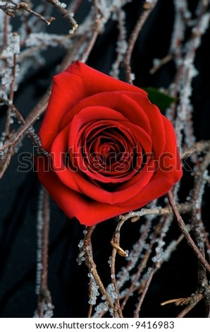 Image of a rose among branches - stock photo