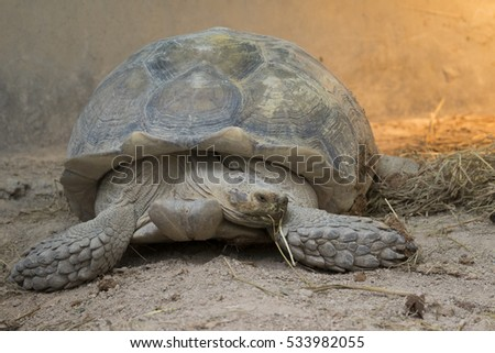 Image of a turtle on the ground. (Geochelone sulcata) Reptile.
