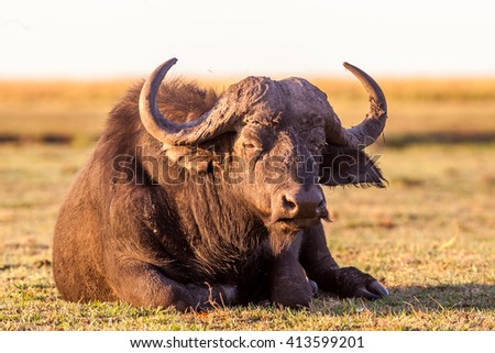 Image of a wild African Cape Buffalo sitting down - stock photo