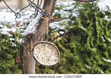 Image of a wild Blue Tit bird perched on half a coconut. - stock photo