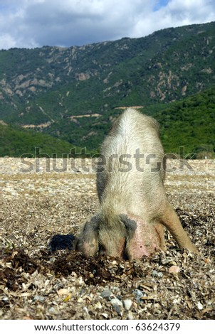 Image of a wild pig searching for food.