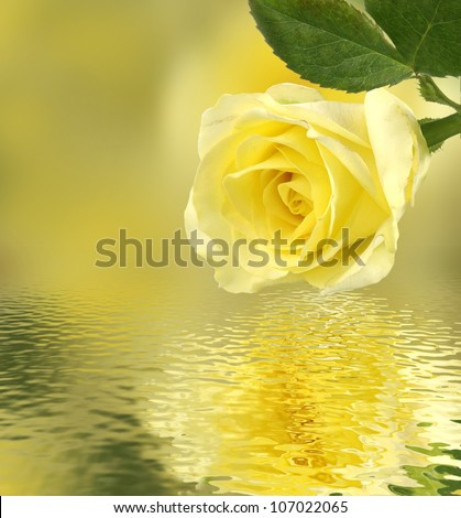 image of a yellow rose above the water - stock photo