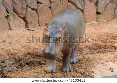 Image of a young hippopotamus is in a zoo. - stock photo