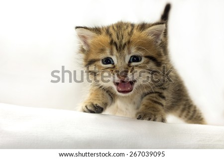 Image of adorable kitten crying at camera, close-up - stock photo