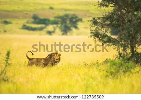 Image of an African lion in savanna of Uganda - stock photo