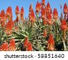 Image of an aloe plants garden - stock photo