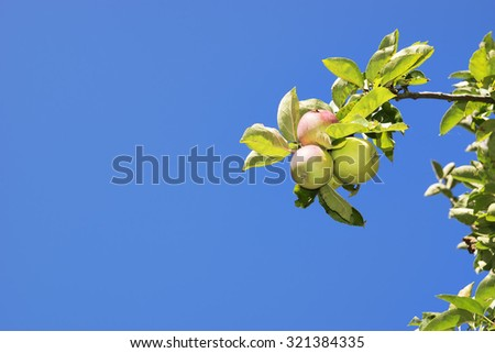 Image of apples and trees in a garden with grean meadow