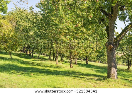 Image of apples and trees in a garden with green meadow