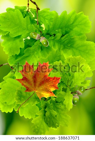 image of autumn leaf on a  green leaves background - stock photo