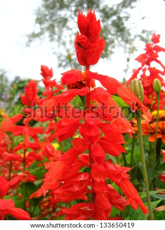 image of beautiful fed flowers of salvia on the bed