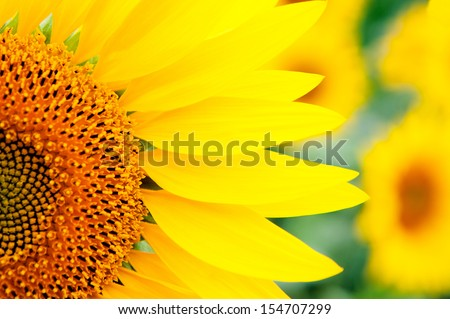 Image of beautiful sunflowers photographed close - stock photo