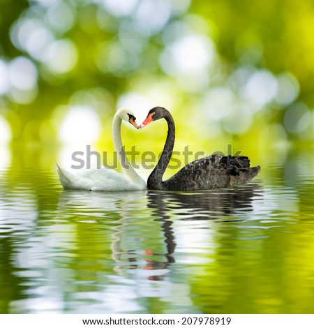image of black and white swans in a heart shape - stock photo