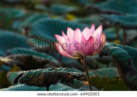 Image of blooming pink lotus in natural lake. - stock photo