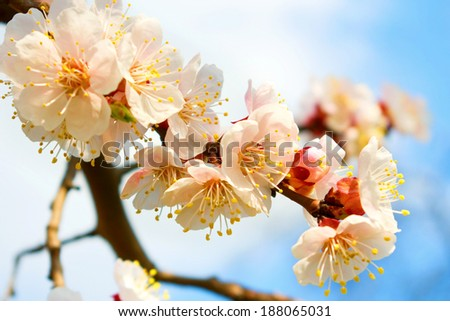 image of blossoming branch closeup - stock photo