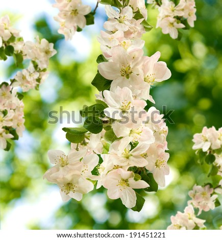 image of blossoming branches on a green background closeup - stock photo