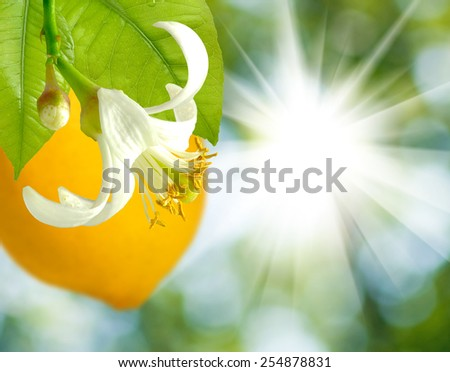 image of branches with lemons on a green background - stock photo