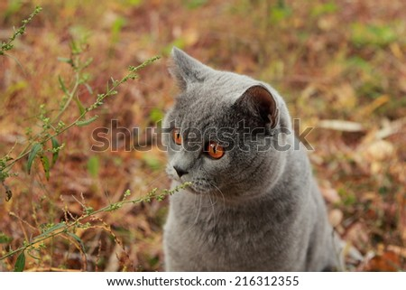 Image of british shorthair cat outdoor walking in harness, autumn time - stock photo