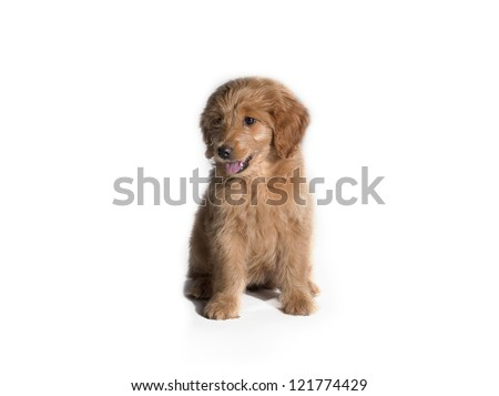 Image of brown cute puppy on white background - stock photo