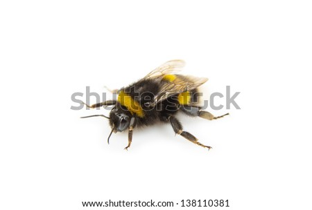 Image of bumblebee against a white background - stock photo