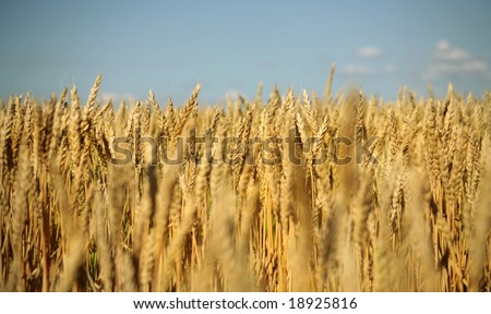 Image of cereal crop in the late afternoon - stock photo