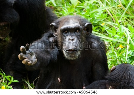 Image of chimpanzee is begging some feed. - stock photo