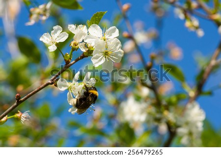 Image of Close up of cherry blossom flowers and a bumblebee in the early sunny spring morning - stock photo