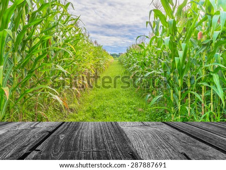 image of corn field and sky in background. - stock photo