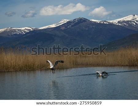 Image of dalmatian Pelican on Lake Prespa, Greece - stock photo