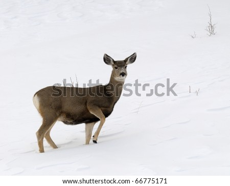 Image of doe in field of snow - stock photo