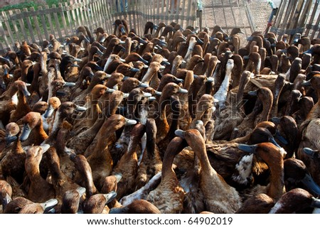 Image of ducks that is a domestic animal. - stock photo