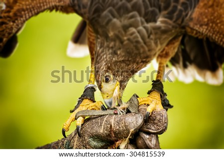 Image of eating raptor bird sitting on a hand
