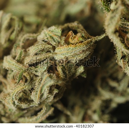 Image Of Extreme Closeup Of the THC Loaded Tricomes in Marijuana - stock photo