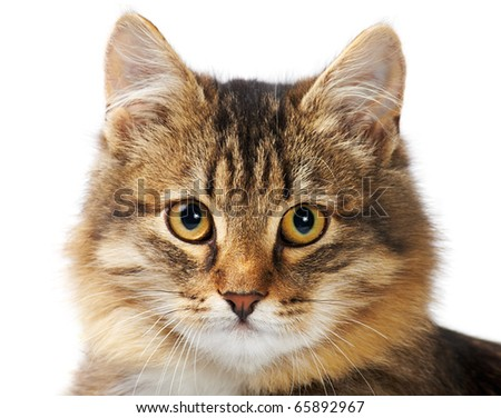Image of fluffy grey cat looking at camera over white background - stock photo