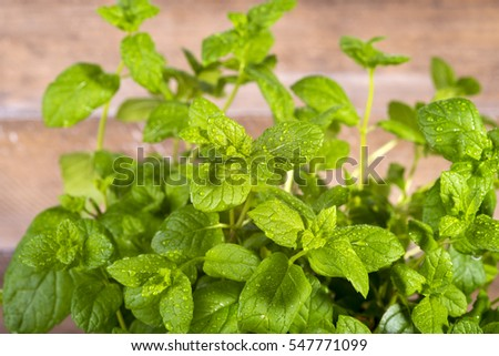 Image of fresh mint in drops of dew
