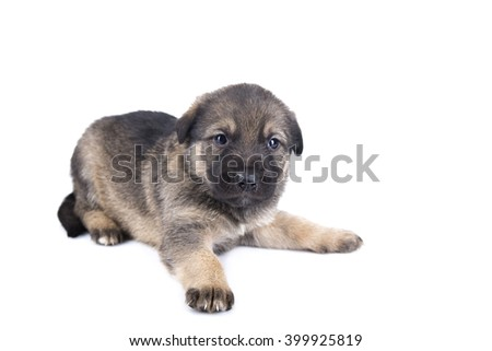 image of German shepherd puppy isolated on white