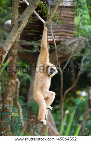 Image of gibbon hanging on lope in a zoo.