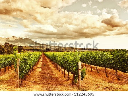 Image of grape valley, harvest season, beautiful sunset over vineyard, plantation of fruits, winery farm, retro autumn background, grapes garden landscape, agricultural countryside - stock photo