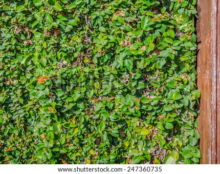 image of Leaf wall for background usage. - stock photo