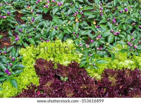 image of lettuce  and purple chili  in the garden day time . - stock photo