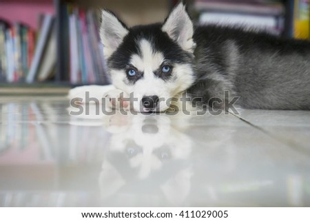 Image of little husky puppy lying down on the floor while staring at the camera - stock photo