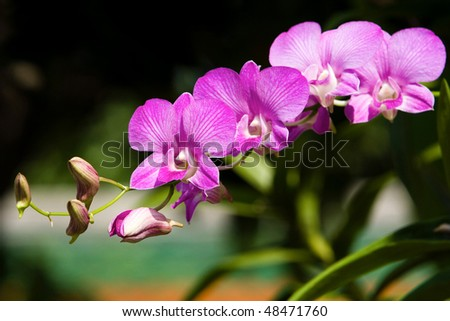 Image of magenta orchids in Thailand. - stock photo